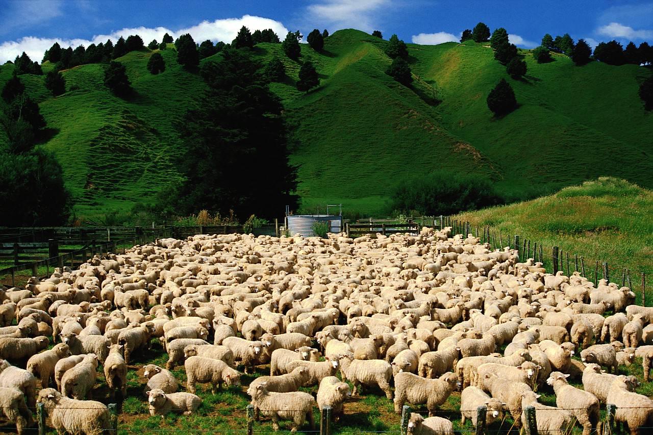Domba yang Mengikuti Tuhan